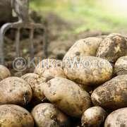 Potato Image