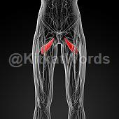 abductor muscle Image