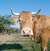 cattle Image